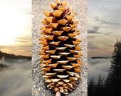 Sugar Pine Cones 20 Cones Assorted Sizes