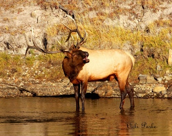 Fall's Song--Elk, bull, river, Yellowstone National Park, Wyoming, photography, fine art
