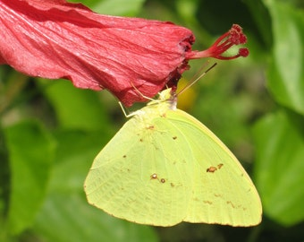 Butterfly Art Print Nature Photography~Yellow Butterfly Photo on Flower~Sunny Home Decor~Botanical Summertime Print~Home Decor~Mdogstudios~