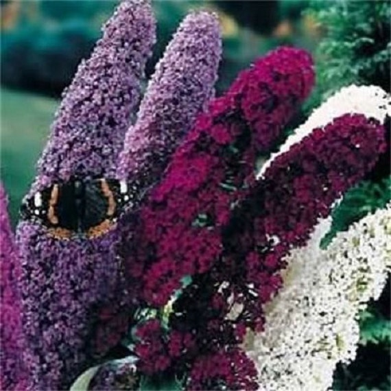 Where Can I Buy A Butterfly Bush