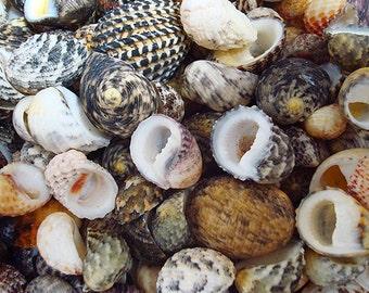 Nerite Shell Assortment (appx. 50 pcs.)