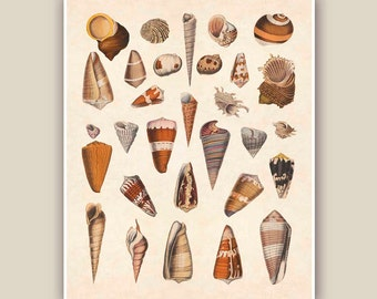 Seashells 1 Print, 10x8 Vintage illustrations,  Seashore art  Print, Coastal Living