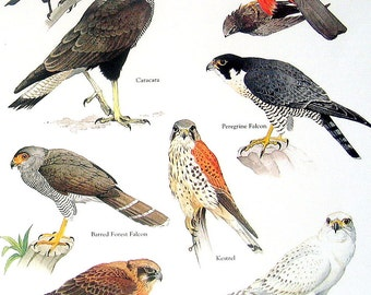 Birds - Collared Falconet, Caracara, Brown Falcon, Gyrfalcon - Vintage 1980s Bird Book Plate Page