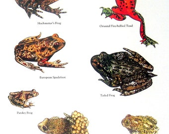 Frogs - Hochstetter's Frog, European Spadefoot, Parsley Frog, Midwife Toad - Vintage 1980s Animal Book Plate Page