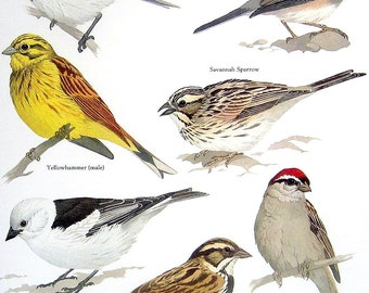 Bird Print -  Reed Bunting, Dark Eyed Junco, Yellowhammer, Savannah Sparrow - Vintage 1984 Book Page