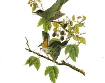 Audubon Gray Catbird or Northern Mockingbird for Framing, Collage, Altered Art, Paper Arts and MORE PSS 1683