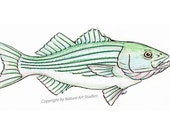 Striped Bass Fish Art Print - From original watercolor and ink drawing by Mark Noll