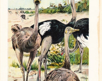 1901 Bird Print - Ostrich - Vintage Antique Book Plate for Natural Science or History Lover Great for Framing 100 Years Old