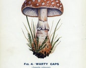 Warty Caps Fungus, Reproduction Vintage Mushroom Print 1926 Edible and Poisonous Fungi 4, Library Decor, Mycology Print