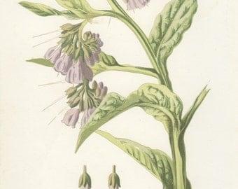 Antique Wild Flower Botanical Print, Comfrey, 1880, Vintage, Frameable Art, Purple, Green Woodland, Edward Hulme