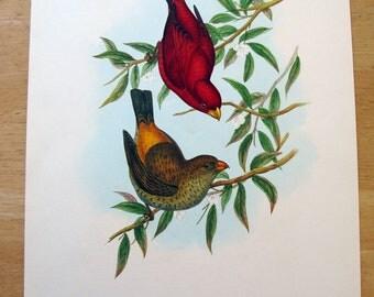 John Gould print - Sepoy Finch