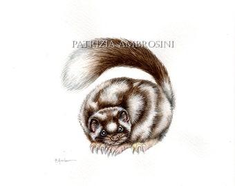Original Watercolour 10X8  Western Spotted Skunk .. Not a print ..original painting, animal ,fine art,