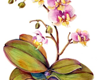 Orchid, Phalaenopsis, 10 for 10.00