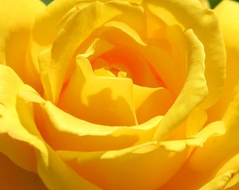 Yellow rose photography, floral wall art, garden print, flower photography, 5x5 8x8 12x12 square print, Pure Sunshine