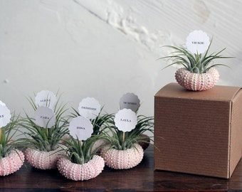 air plant party favors // place markers qty. 25