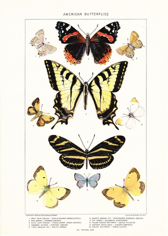 1903 Insect Print - American Butterflies - Vintage Antique Home Decor Book Plate Art Illustration for Framing 100 Years Old