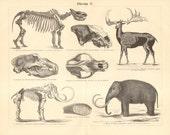 1894 Pleistocene Megafauna, Ice Age Mammals, Woolly Rhinoceros, Irish Elk, Cave Bear, Woolly Mammoth, Cave Hyena Antique Engraving