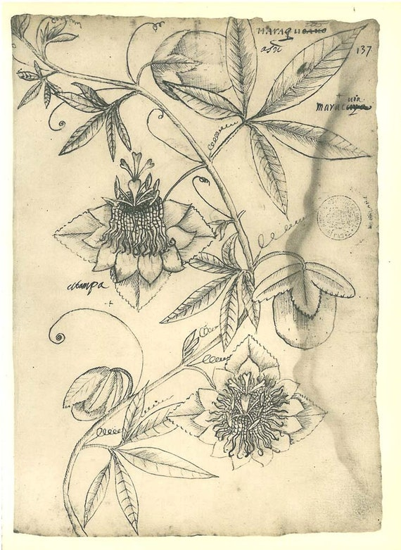 Passion Flower Line Drawing : Passion flower vintage drawing botanical sketch passiflora