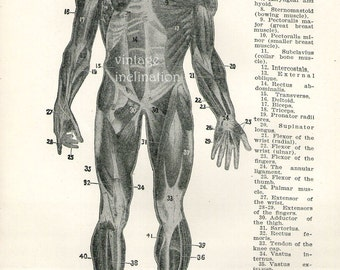 1926 Human Anatomy Print Muscles of the Human Body biceps triceps extensors detoid