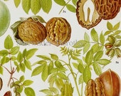 Walnut Butternut Pecan Pistachio Nuts Flowers Food Chart Vegetable Botanical Lithograph Illustration For Your Vintage Kitchen 29
