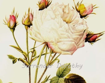 White Provence Rose Redoute Rosa Centifolia Mutabilis Vintage Flower Botanical Lithograph Poster Print To Frame 48