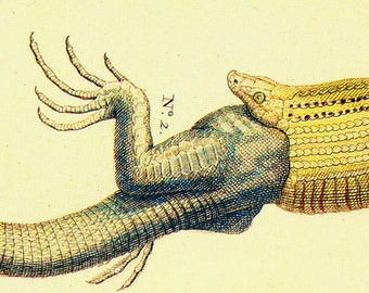 American Snake Eats Lizard Herpetology Natural History Lithograph Chart Poster Print To Frame