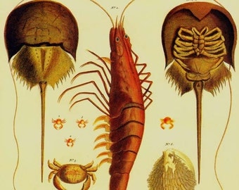 Lobster Horseshoe Crab Shrimp Spider Crab Vintage Seba Crustacean Natural History Lithograph Chart Poster Print