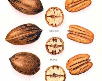 USDA Pecan Nut Varieties 1908 Antique Agriculture Botanical Vintage Lithograph Print To Frame