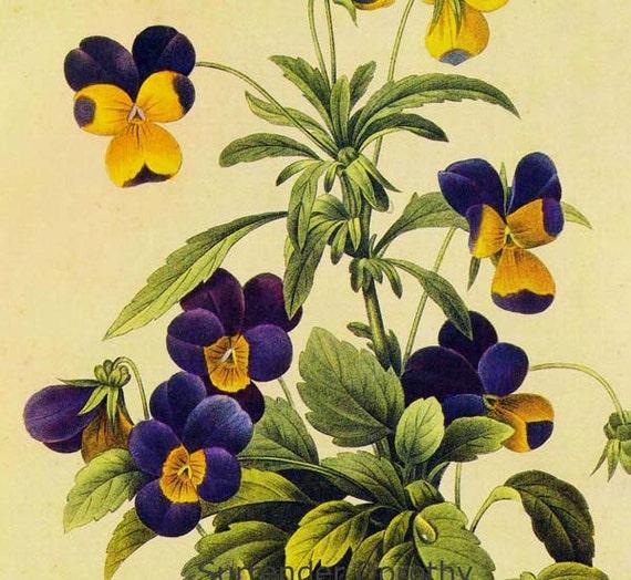 Johnny Jump-ups Viola Tricolor Vintage Wildflower Botanical