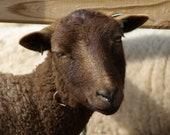 Moorit Shetland Roving (4 oz.) - Celebrian