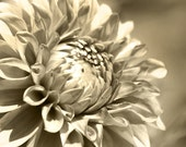 Flower Photography, Sepia photo, monochromatic photography, Dahlia Photo, neutral home decor, vintage style art - Looking Up