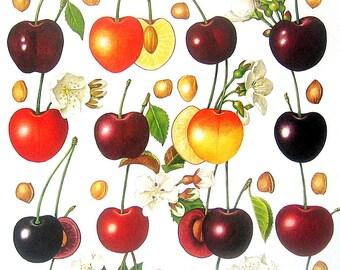 Cherries Fruit Print Vintage Cookbook Color Book Page Plate 1991