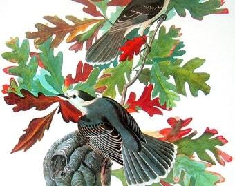 Canada Jay Vintage Audubon Bird Print Book Plate 1987