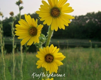 4 x 6, 5 x 7, or 8 x 10 Photo Print Compass Plant Yellow Flowers