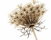 Sepia Photography Queen Anne's Lace Print Large Format Botanical Nature Photograph