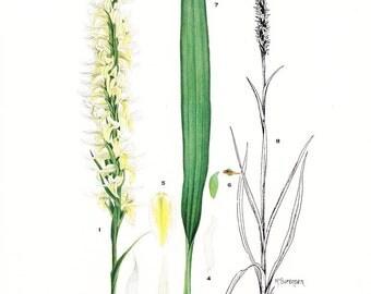 1936 Botany Print - Spiranthes Odorata - Ladies Tresses - Vintage Antique Flower Art Illustration Book Plate for Framing