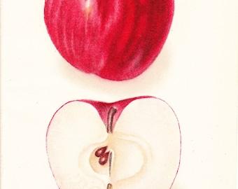 1908 Fruit Print - Williams Apple - Vintage Home Kitchen Food Decor Plant Art Illustration Great for Framing 100 Years Old