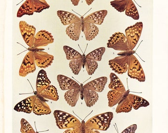 1903 Butterfly Print - Vintage Antique Book Plate for Natural Science or History Lover Great for Framing 100 Years Old