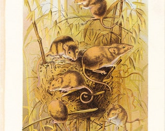 1901 Animal Print - Harvest Mouse - Vintage Antique Book Plate for Natural Science or History Lover Great for Framing 100 Years Old