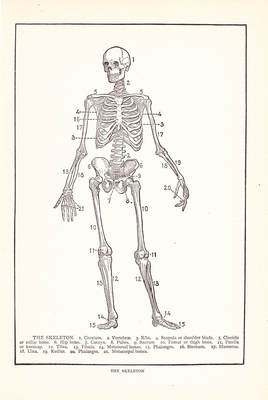 1909 Human Anatomy Print Skeleton Diagram Vintage Antique