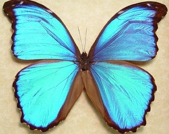 Wedding Gift - Something Blue Real Framed Blue Morpho Menelaus Alexandrovna Butterfly 8110