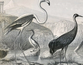 1851 Antique Steel Engraving of a Heron, Stork, Flamingo, Crane, and Other Birds. Plate 93