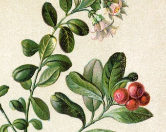 1901 Vintage Botanical Print of Cranberry, Redshank, Buckwheat, and Other Plants. No. 25