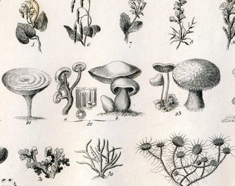Antique Engraving of Mushrooms, Mosses, and Ferns - 1851 Plate - Plate 54