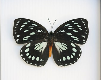 African Queen Real Framed Butterfly Taxidermy with Gift box