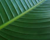 Deep Green - Banana Leaf big green be green island treasury gift Tropic Hawaii green leaf st patrick deep green Exotic green Fine Art Print