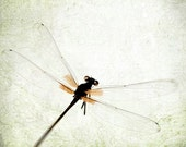 """Dragonfly insect wings flight macro closeup minimal pastel botanical surreal neutral grey orange - """"On the Wing"""" 8 x 10"""