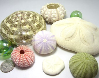 Beach Decor Urchin Seashells - Nautical Decor Sea Urchin Shells,  6PC Collection