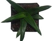 Wansley Aloe Succulent Plant