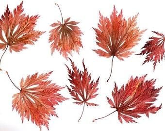 12 Real Pressed Crimson Queen Japanese Maple Leaves - Perfect for Weddings, Holiday Decor, Red Wedding, Decorations, Art & Craft Projects
